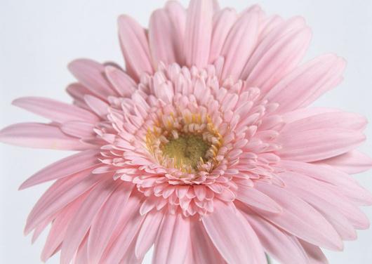 как выбрать цветы герберы
